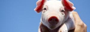 とうべつ浅野農場農家そだち健康豚